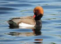 Red-crested-Pochard-London