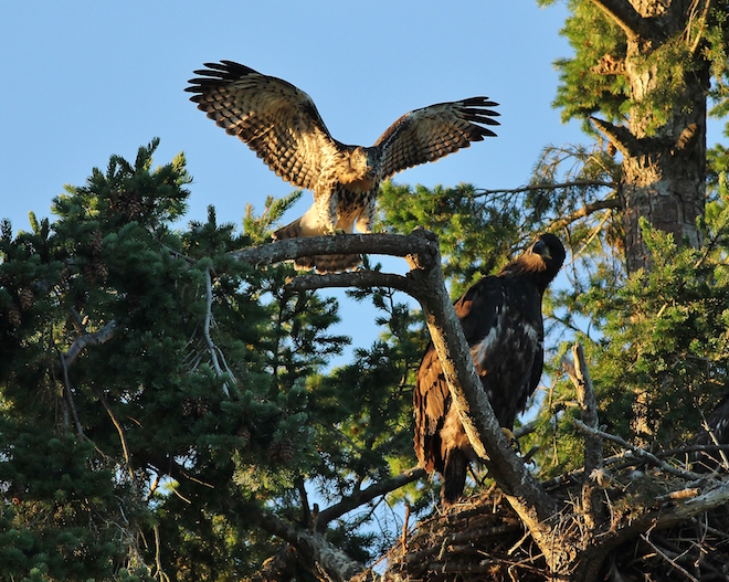 Rypstra-hawk eaglet
