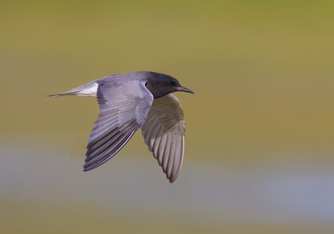 AT RISK: A study of 46 bird species that breed in the Upper Midwest and Great Lakes ranked Black Tern as the most highly vulnerable to climate change. Photo by Tim Zurowski/Shutterstock