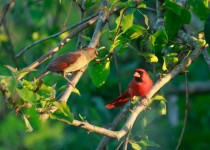 Northern Cardinal perched on a branch serching for food.