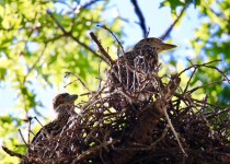 Two-of-Three-Young-Yellow-Crown-Night-Herons