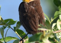 Yellow-headed-Blackbird-Millarville-2