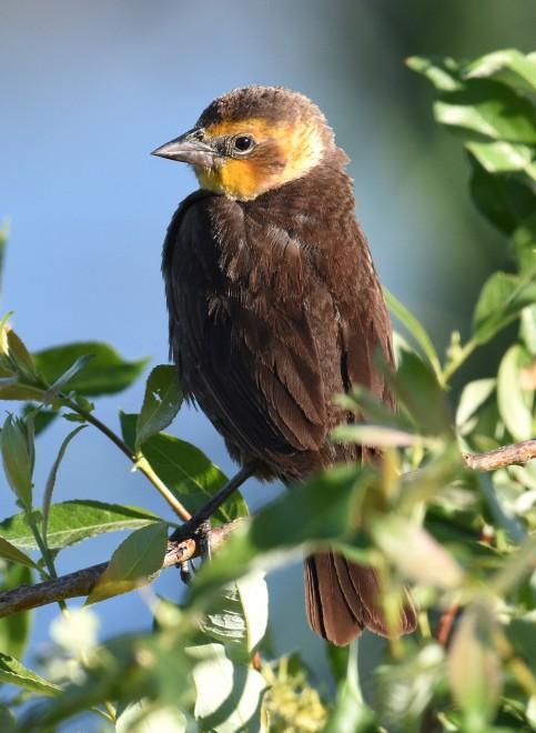 Yellow-headed-Blackbird-Millarville-2