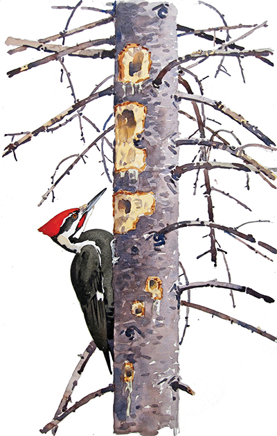 Pileated Woodpecker and Red Spruce by Barry Van Dusen, watercolor, 2015. © Barry Van Dusen