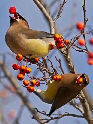 Cedar Waxwings by Lorraine Hudgins/Shutterstock