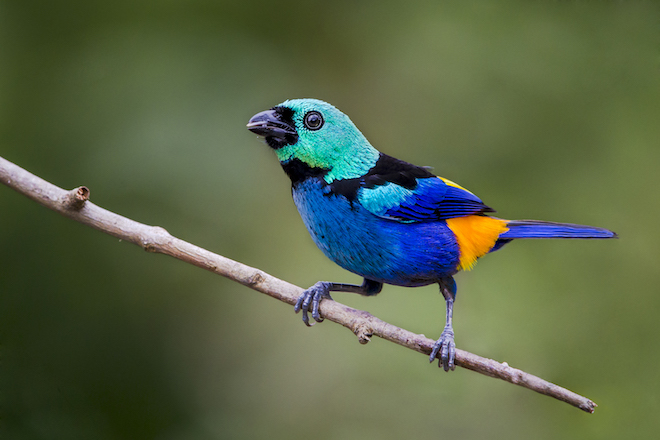 Forest conservation helps Brazil's Seven-colored Tanager