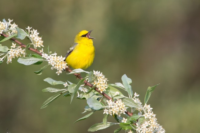 eBird maps show where to find Blue-winged Warbler
