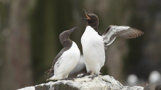 Seabird parents