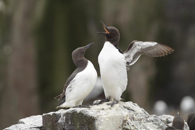 Seabird parents compensate for struggling partners