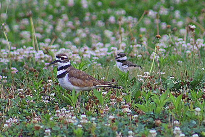 Killdeer - BirdWatching