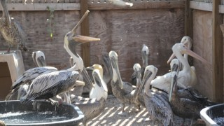 Wildlife rehabbers helping pelicans