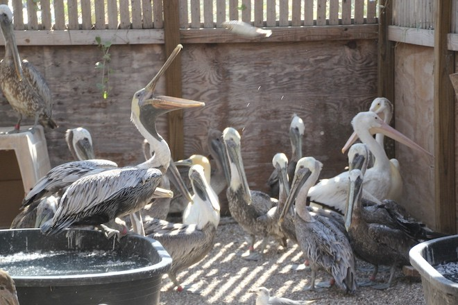 Pelicans recover at the Texas Sealife Center after Hurricane Harvey. Photo by Tim Tristan/Texas Sealife Center