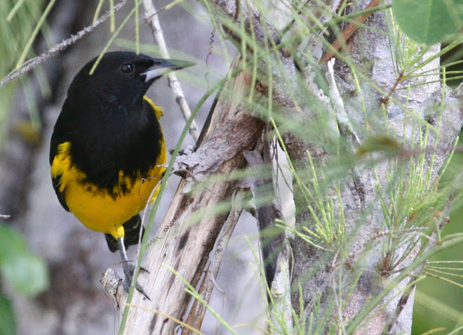 Bahama Oriole population much larger than previously thought