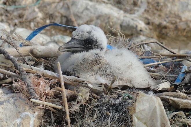 seabirds marine plastic