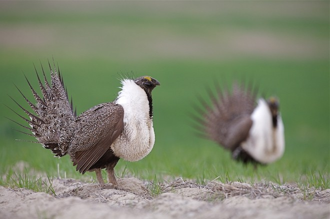 Greater Sage Grouse Tom Reichner:Shutterstock