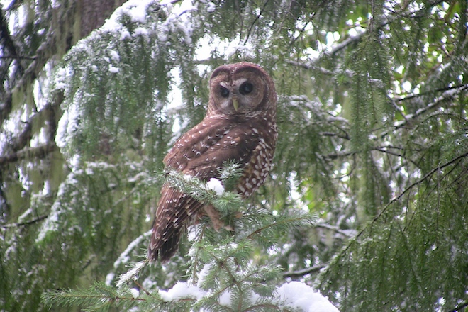 Monument review threatens Northern Spotted Owl