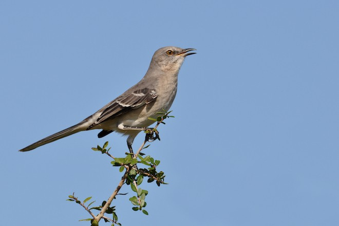 Northern Mockingbird singing on a high perch. Photo by Gerald A. DeBoer/Shutterstock
