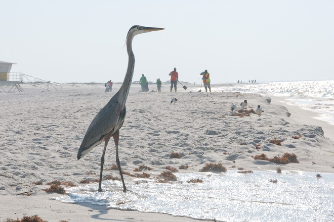 A Great Blue Heron stands on the shores of the Gulf of Mexico as BP oil workers clean the beach on June 9, 2010 in Perdido Key, Florida. Photo by Cheryl Casey/Shutterstock