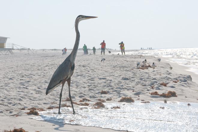 Study: Even small amounts of oil made birds near Deepwater Horizon sick