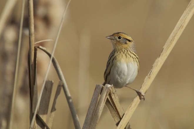 eBird maps show where to find LeConte's Sparrow