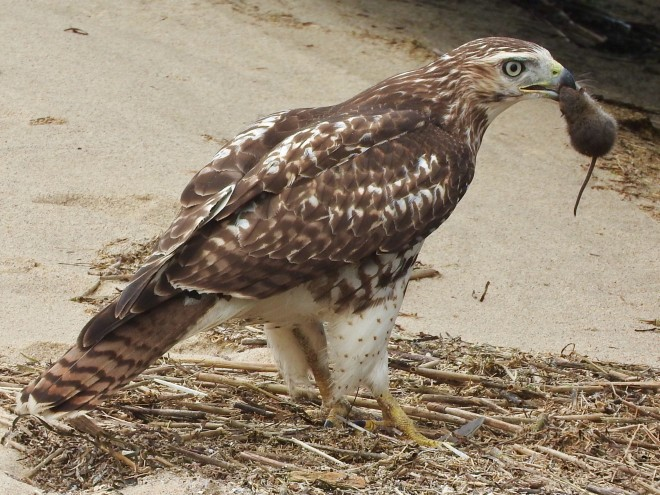 Red-tailed Hawk - BirdWatching