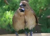 Scaly-breasted-Munia-Siblings_4009