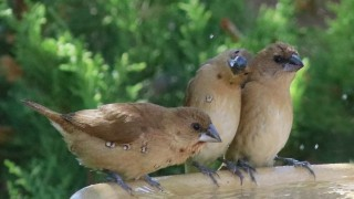 Scaly-breasted-Munia-Siblings_4012