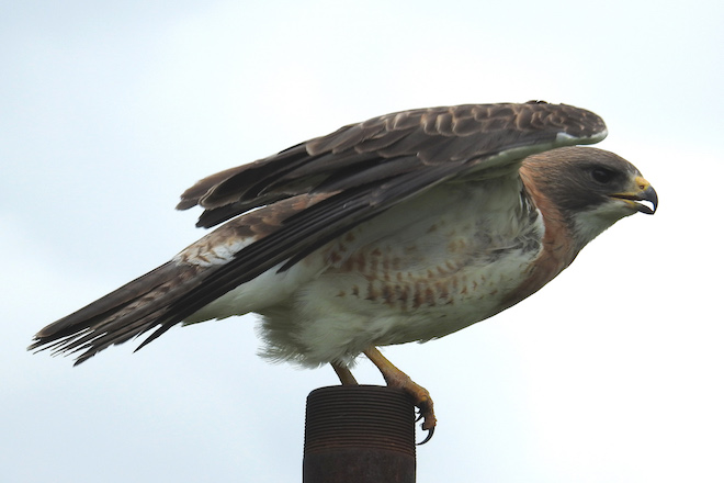 Maps show Swainson's Hawk on the move in October