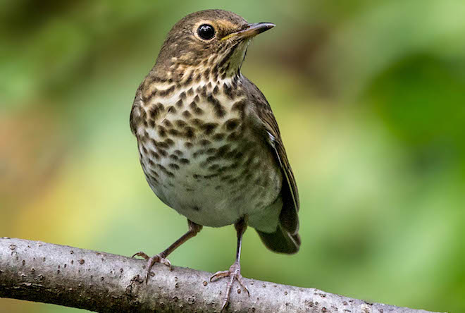 Should Swainson's Thrush be split into two species?