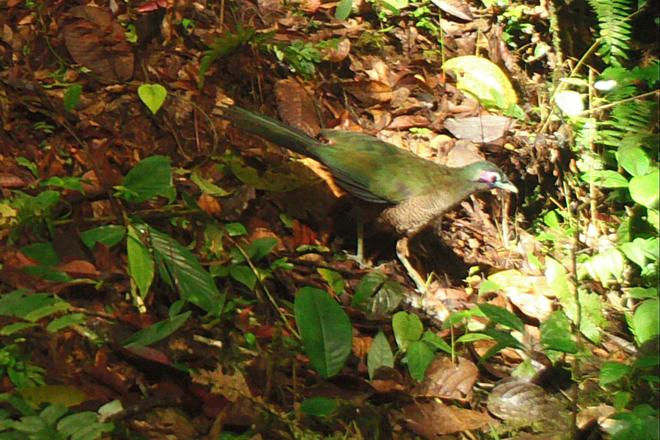 Camera trap records rare ground-cuckoo in Sumatra
