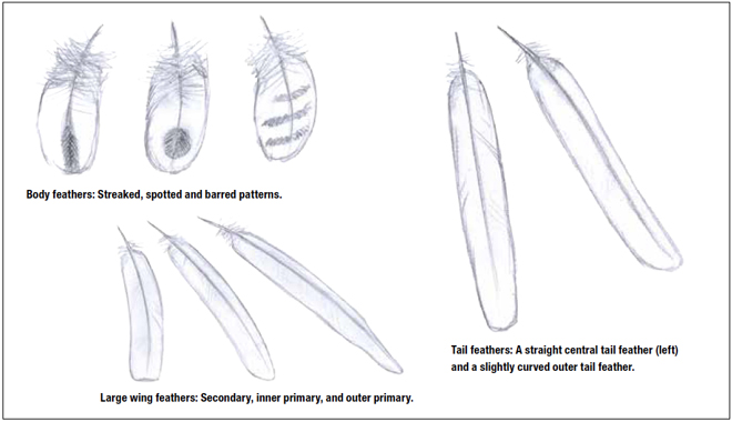 David Sibley's tips for identifying found feathers
