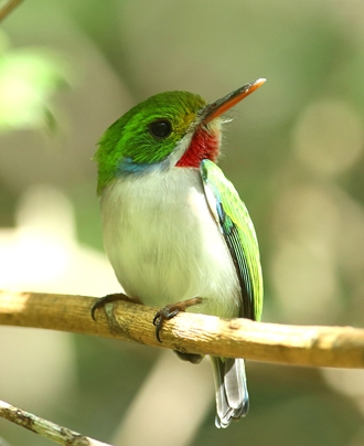 Photo of Tody, native to Cuba