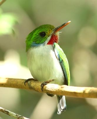 Photo of Tody, native to Cuba