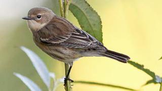 fall warbler ID