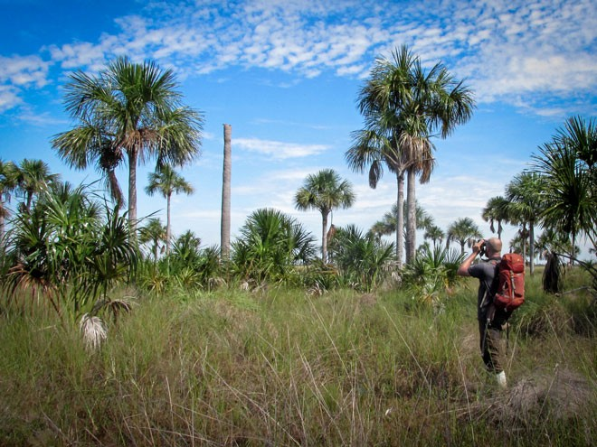 In February 2017, Tjalle Boorsma observes a macaw nest in a royal palm in northwestern Bolivia. It was one of four nest sites discovered during an expedition into flooded grasslands in search of the bird's breeding areas. Photo by Luis Miguel Ortega