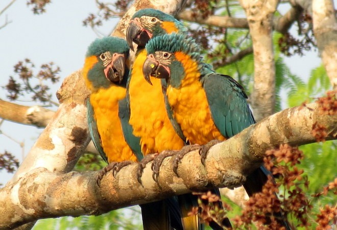 Three Blue-throated Macaws perch in the Barba Azul Nature Reserve. Photo by Asociacion Armonia
