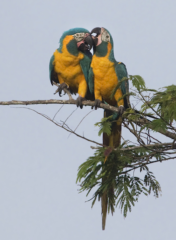 A pair of Blue-throated Macaws. Photo by Daniel Alarcon