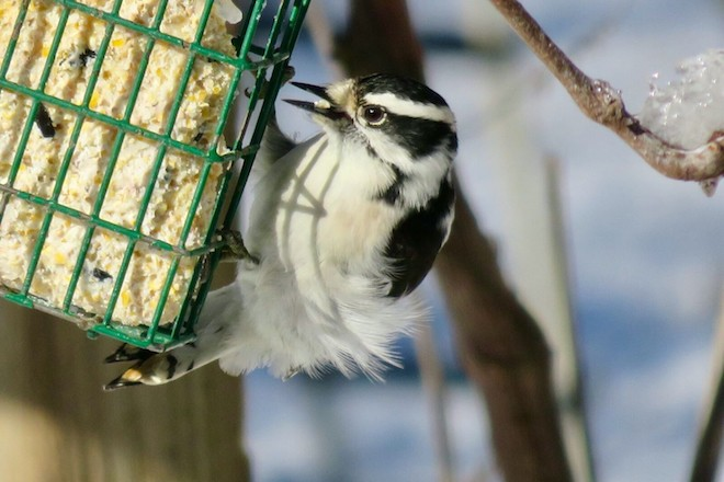 Downy Woodpecker Courtesy of Cole's Wild Bird Products, Inc.2 copy
