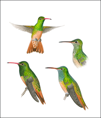 New illustrations of Buff-bellied Hummingbird appear in the seventh edition. Illustrations by N. John Schmitt