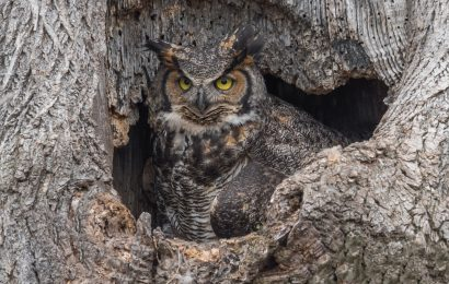 It's time for Great Horned Owls to begin hooting