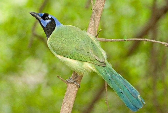 Green Jay, a bird of South Texas, threatened by border wall plans. Photo by Gerald A. DeBoer/Shutterstock