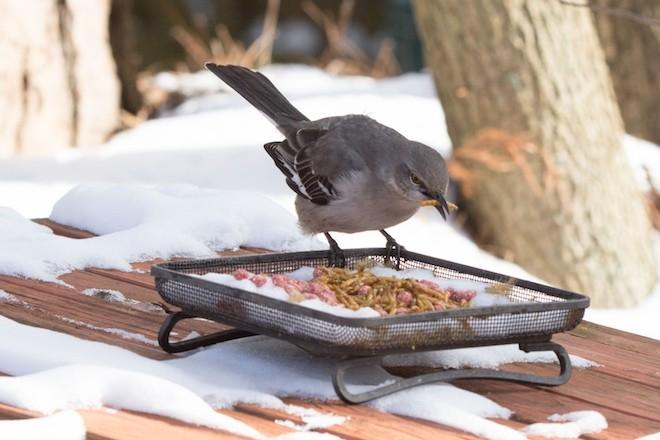 Mockingbird Coles Winter2