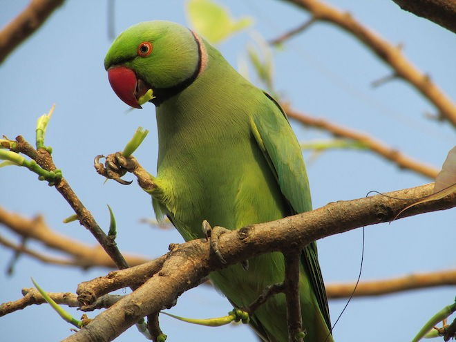 Rose-ringed Parakeet is one of the birds imported in high numbers to Europe. The species has become established in European cities. Photo by JayDalal5 (CC BY-SA 3.0)