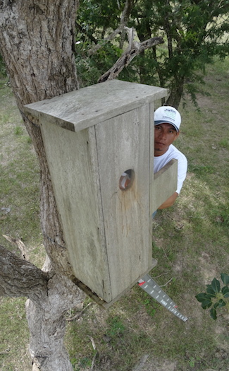 A researcher checks a macaw nest box. Photo by Tjalle Boorsma