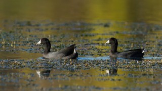 american_coots-0009