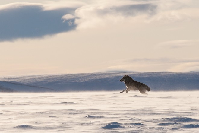 An Alaskan tundra wolf leaps through the blowing snow near the Arctic National Wildlife Refuge. Photo by Troutnut/Shutterstock