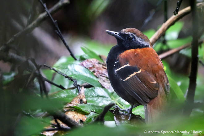 New antbird species discovered, named after biologist E.O. Wilson