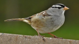 toxic to seed-eating songbirds
