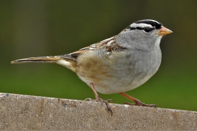 White-crowned Sparrow in Michigan. Photo by Joan Wiitanen