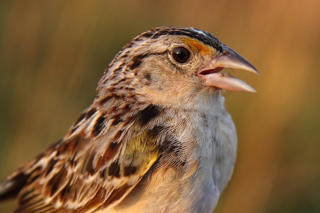 Florida Grasshopper Sparrow reaches record low numbers; extinction looms